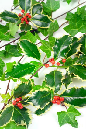 The history of Christmas holly and ivy