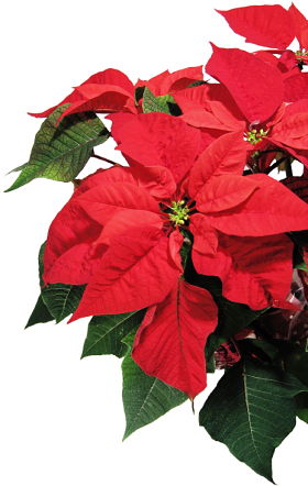 History of poinsettias